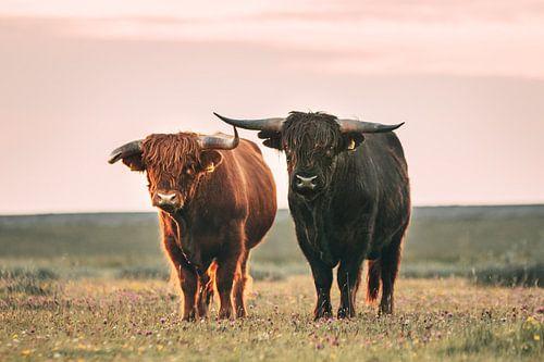 Schotse hooglanders in het avondlicht