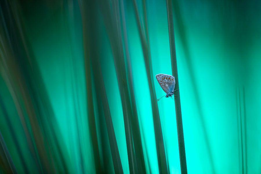 Icarusblauwtje van Judith Borremans