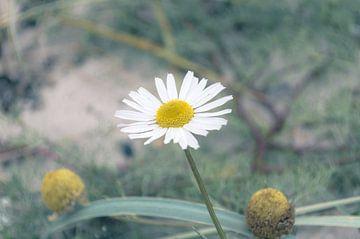 Kamillenblüten  von Melvin Fotografie