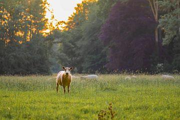 starrende Schaf von Tania Perneel