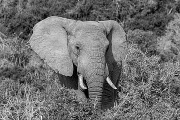 Schwarz-Weiß-Porträt-Elefant Südafrika Addo Elefantenpark von John Stijnman