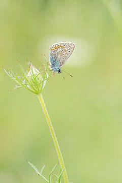 Icarus blauwtje op de wildepeen van Roosmarijn Bruijns
