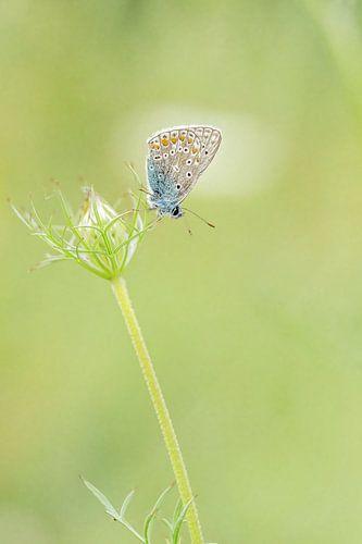 Icarus blauwtje op de wildepeen