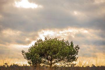 Pijnboom (grove den) van Nicky Kapel