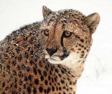Gepard im Schnee von Eye to Eye Xperience By Mris & Fred