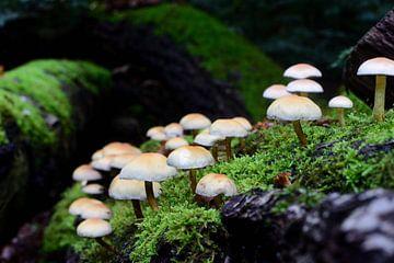Een aantal paddenstoelen van Gerard de Zwaan