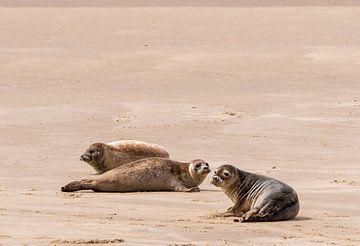 Robben auf der Sandbank im Wattenmeer von Merijn Loch