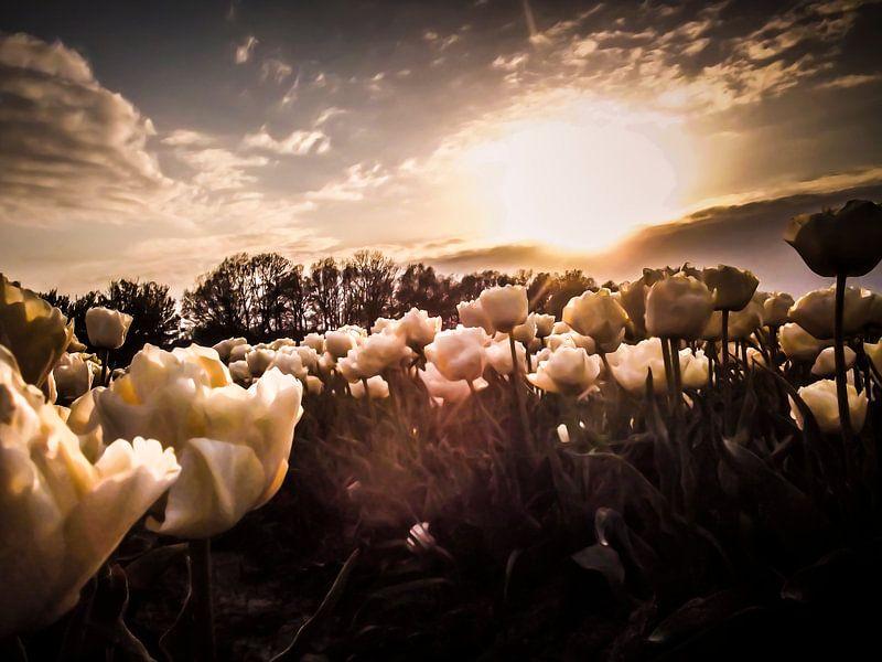 Tulpenveld bij zon's ondergang van Yvon van der Wijk