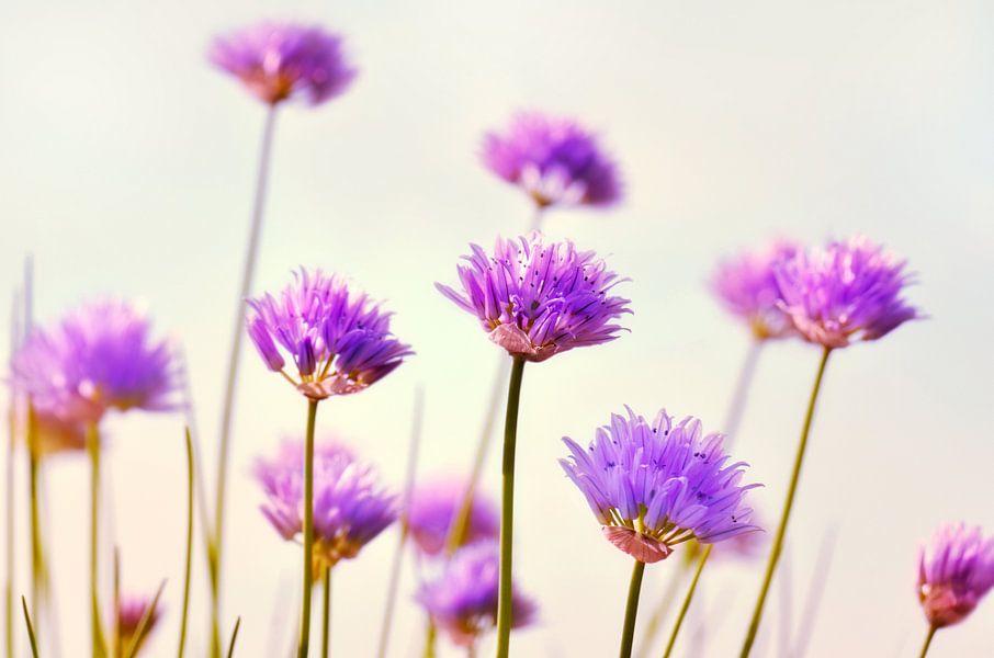 Schnittlauchblüte