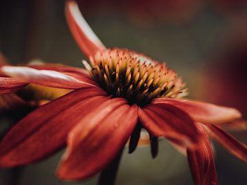 Echinacea von José Lugtenberg