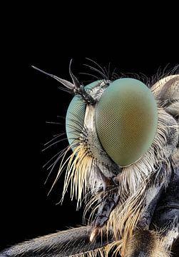 Roofvlieg / Robberfly van marco jongsma