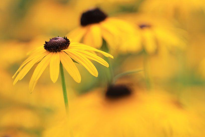 Gele zonnehoed (rudbeckia fulgida) van Jacqueline Gerhardt