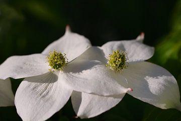 Die weißen Blüten von Cornus kousa im Frühling von Ulrike Leone