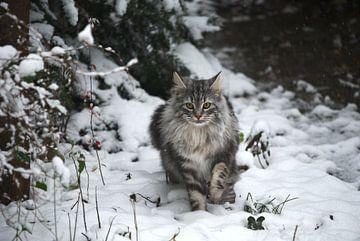 Norwegische Waldkatze im Schnee van Thomas Wagner