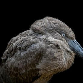 Hamerkop vogel portret van Ben Bokeh