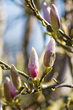 Magnolia van Petra Brouwer