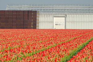 Red tulips and straight lines