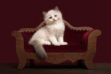 Schattig ragdoll kitten op een sofa van Elles Rijsdijk