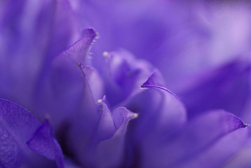 Close-up van de paarse Campanula van Birgitte Bergman