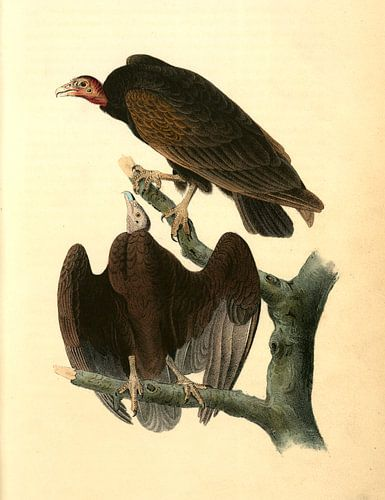 Gier van Turkije., Audubon, John James, 1785-1851, Red-headed Turkey Vulture