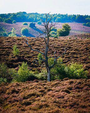 Dode boom op de Veluwe van