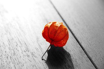 Physalis lampion plant art von Robin Jongerden