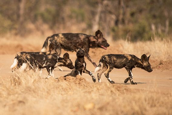 Wilde honden met pups  van Francis Dost