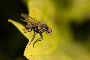 Kleine vlieg (Brachycera) met rode ogen op een blad. van Joost Adriaanse