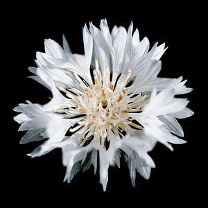 Witte korenbloem