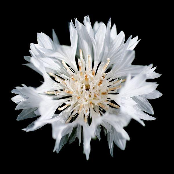 Witte korenbloem van Freya Colman