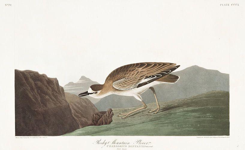 Prairieplevier van Birds of America
