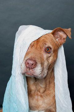 Huisdier Portret van een pitbull met een sjaal over haar kop van