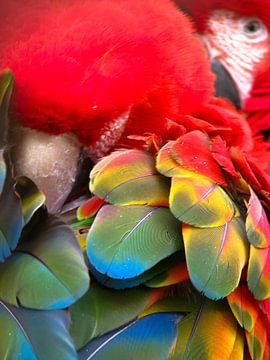 Geelvleugelara papegaai van Marjoleine Roos