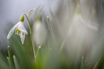 Sneeuwklokje von Inge Heeringa
