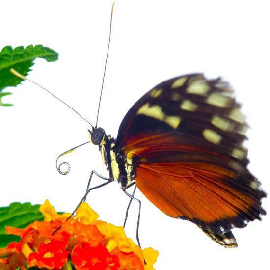 Vlinderkasvlinder1 van Sybren Visser