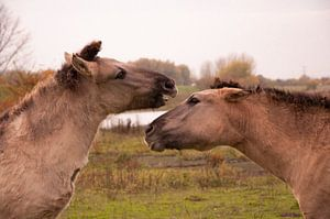 Konikpaarden von NanKee Fotografie