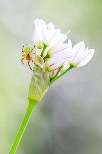 Komkommerspinnetje op witte bloemetjes
