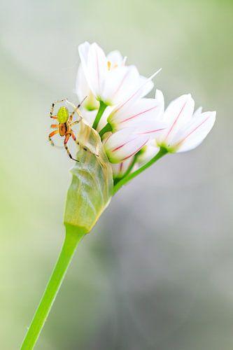 Komkommerspinnetje op witte bloemetjes van Dennis van de Water