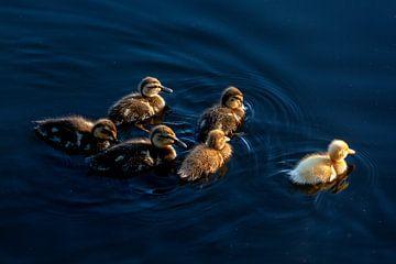 Groep eenden kuikens zwemmen bij zonsondergang