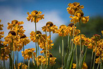 Gelbe Echinacea von Ingrid Ronde