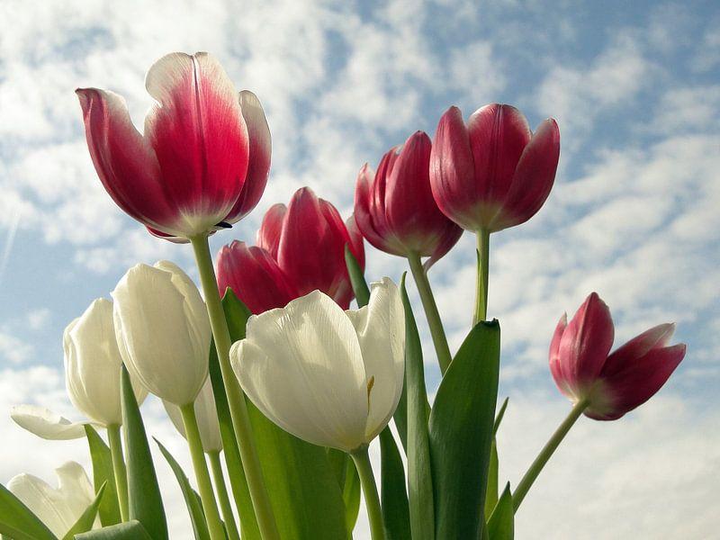 Tulpen Hemel van Renate Knapp