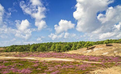 Heide in bloei op Texel / Heather in bloom on Texel. van