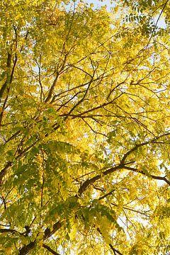 Robinia pseudoacacia frisia 6910080220 Fotograf Fred Roest von Fred Roest