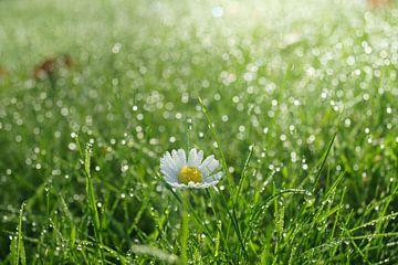Gänseblümchen im Gras von Michel van Kooten