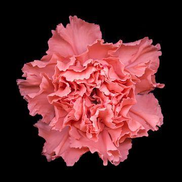 Lachsrosa Nelke von Marian Waanders