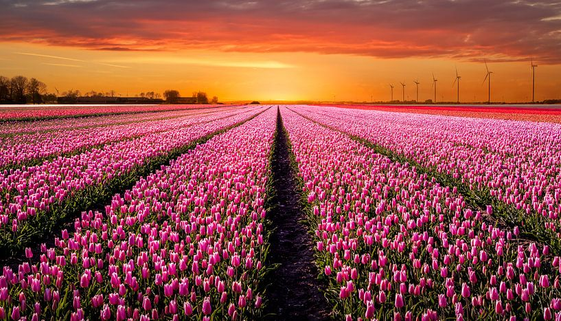 Tulpenveld bij zonsondergang van Patrick Rodink