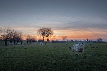 Schapen bij dorp Ravenswaaij van Moetwil en van Dijk - Fotografie