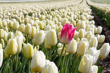 Rode tulp alleen in wit tulpenveld van Angelique van 't Riet