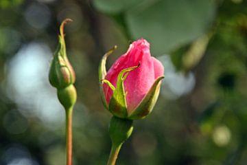 Aufstrebende Rose von Kirsten L.