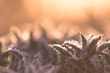 bevroren kroontje van Tania Perneel